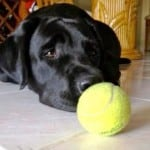 Jac the service dog with tennis ball