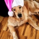 Thai the assistance dog with santa hat