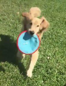 Service Dog Mysti Plays Frisbee